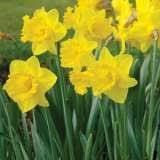 Daffodil Magnifique