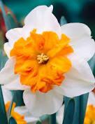 Daffodil Parisienne