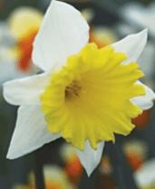 Daffodil Ptolemy