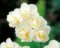 Daffodil White Cheerfulness