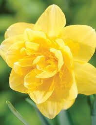 Double Daffodil Safina