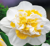 Double Daffodil White Lion