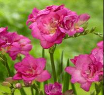 Double Freesia Pink