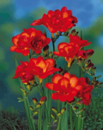 Double Freesia Red