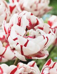 Double Tulip Carnival De Nice