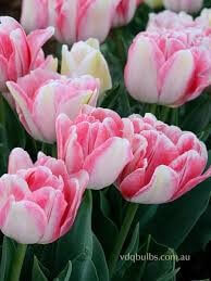 Double Tulip Foxtrot