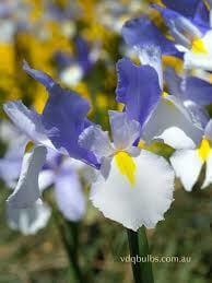 Dutch Iris- Silver Beauty
