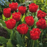 Tulip - Largo