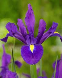 Dutch Iris Purple Sensation