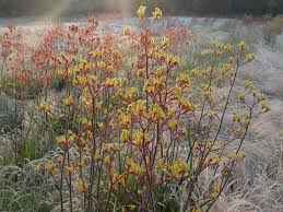 Anigozanthos Landscape Yellow