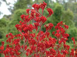 Anigozanthos Landscape Scarlet