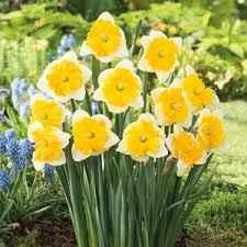 Daffodil Gabriel Klieberg