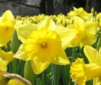 Daffodil Golden Robin