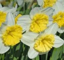 Daffodil Ice Follies