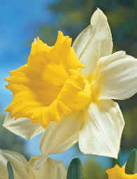 Daffodil Money Maker