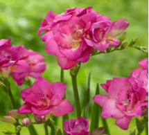 Double Freesia Pink