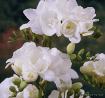 Double Freesia White