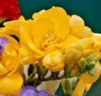 Double Freesia Yellow