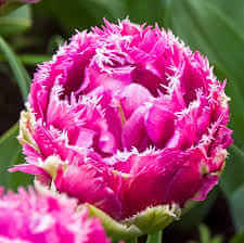 Double Fringed Tulip Mascotte