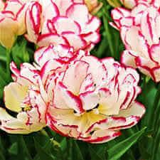 Double Tulip Belicia