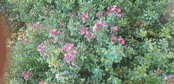 Dwarf Escallonia Pink Pixi