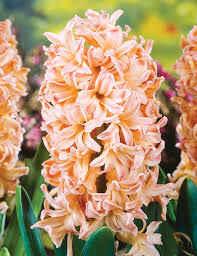 Hyacinth –Apricot Passion