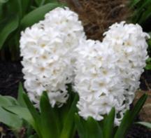 Hyacinth – Aiolos