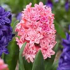 Hyacinth - Spring Beauty