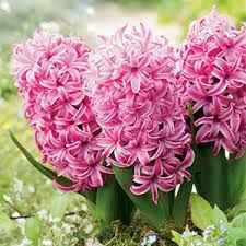 Hyacinth – Fondant