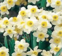 Jonquil Grand Monarch