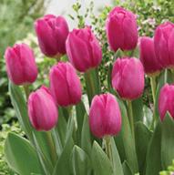 Tulip -Barcelona