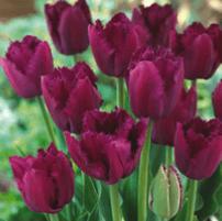 Tulip - Curly Sue