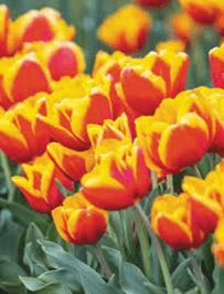 Tulip - Gerrit Van Der Valk