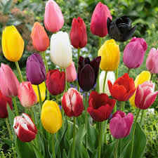 Tulip - MIxed