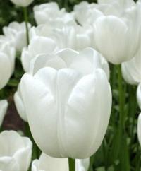 Tulip - Maureen