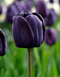 Tulip - Queen of the night