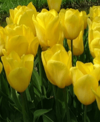 Tulip - Strong Gold