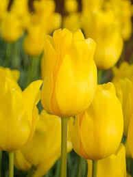 Tulip Jan Van Nes