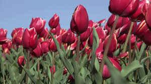 Tulip Karlyn