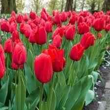 Tulip Laibela