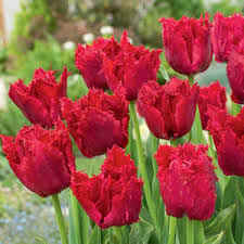 Tulip Versaci