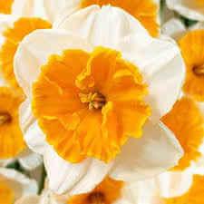 Daffodil Soestdyk